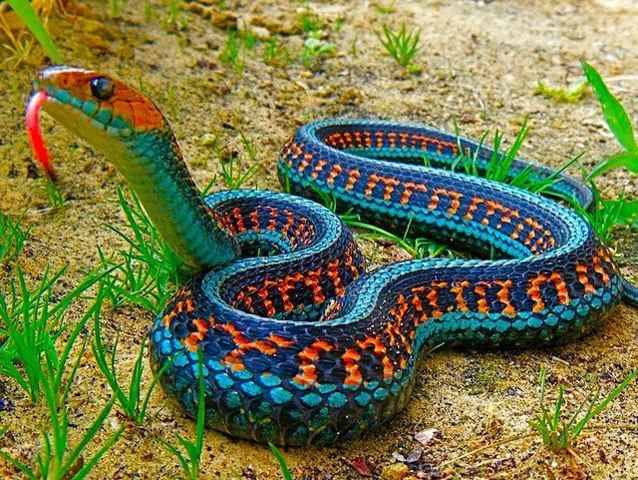 Thamnophis sirtalis 761